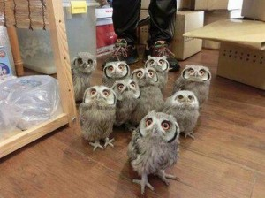 TINY HERD OF OWLS