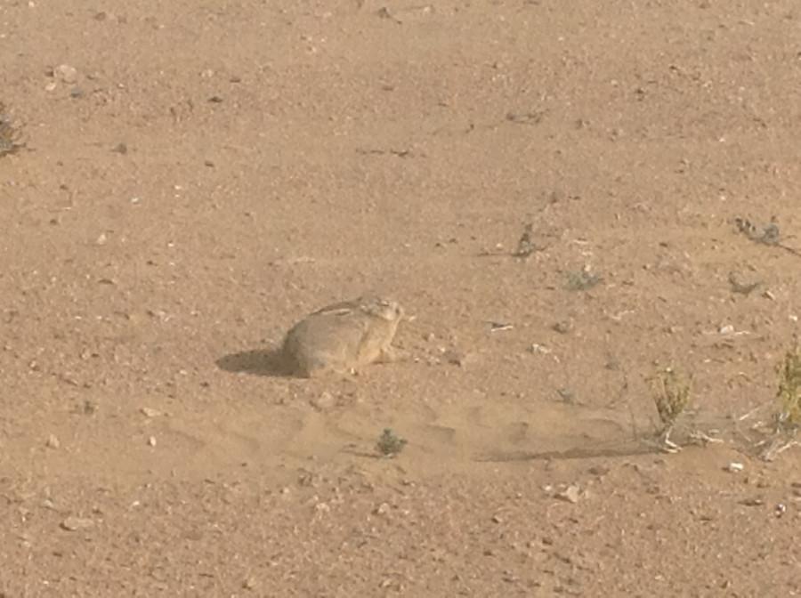 desert hare in Sahara