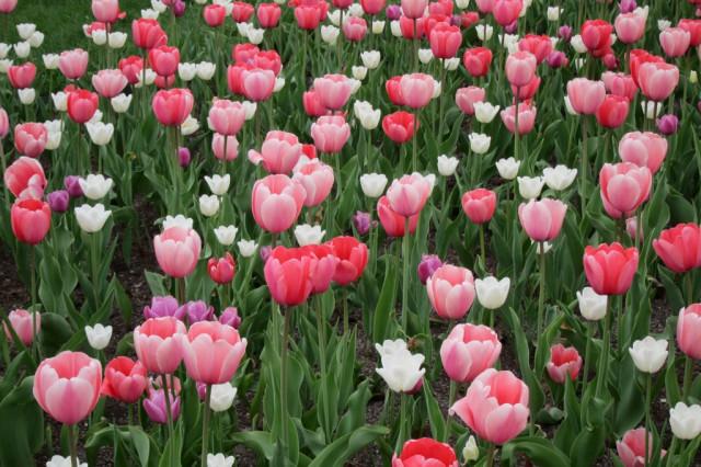 Tsaritsyno tulips