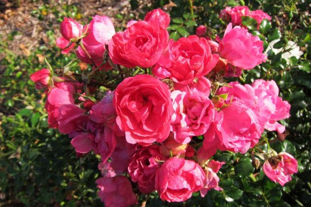 розы нанта