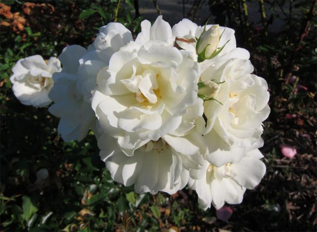 розы нанта 2