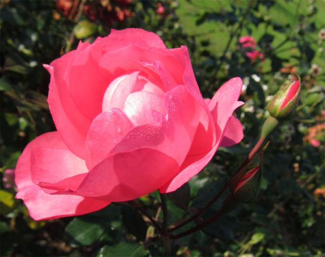 розы нанта 3