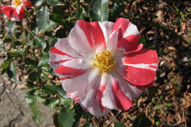 розы нанта 5