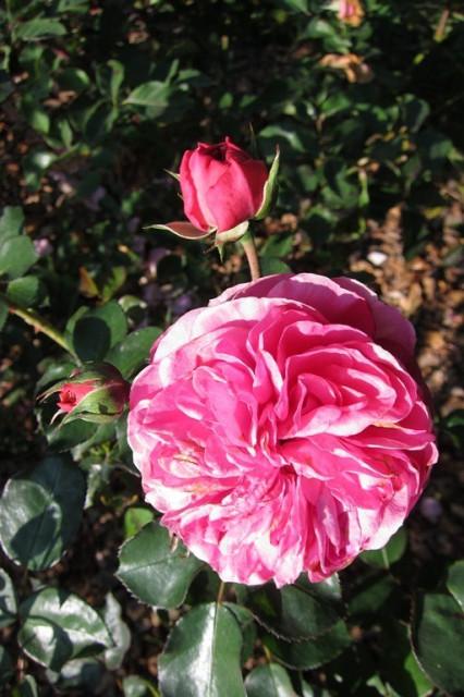 розы нанта 6