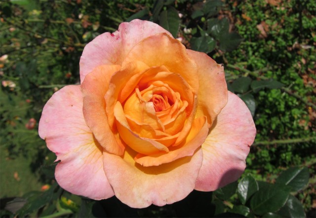 розы нанта 7