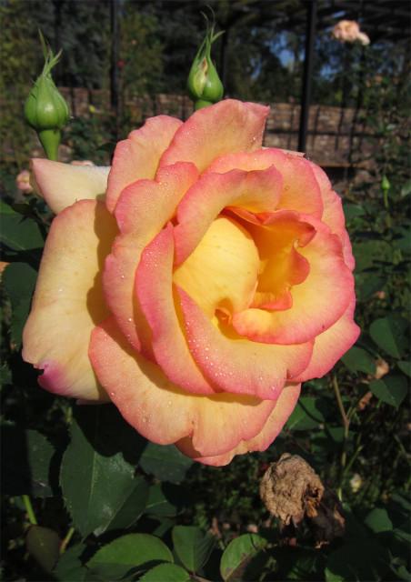 розы нанта 8