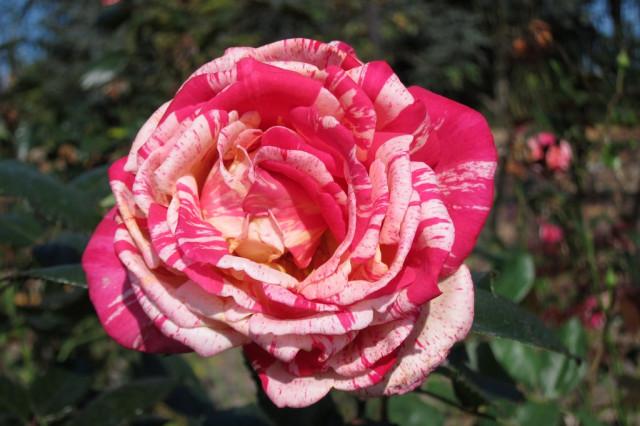 розы нанта 9
