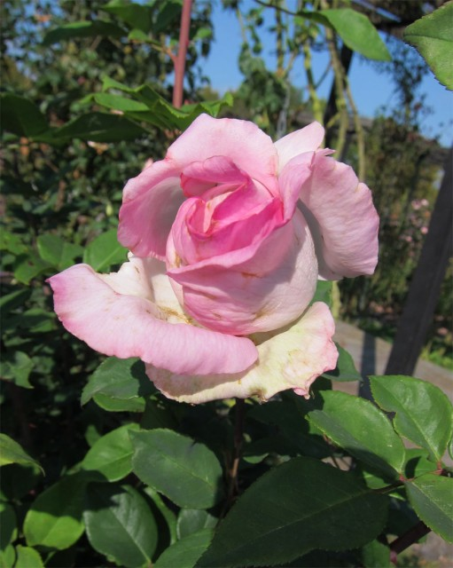 розы нанта 10