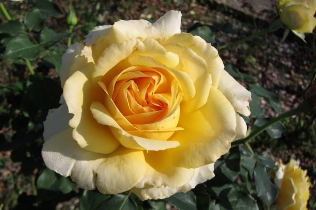 розы нанта 12