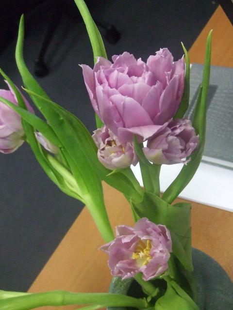 tulip-pivoine