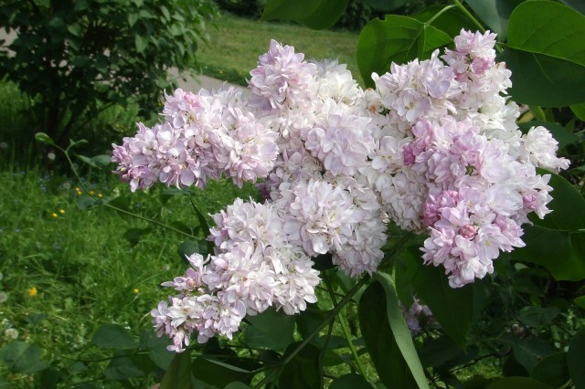 Double Pink Lilac