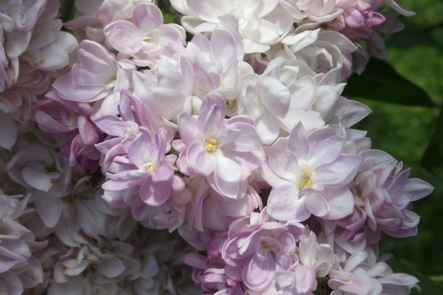 Double Pink Lilac Closely