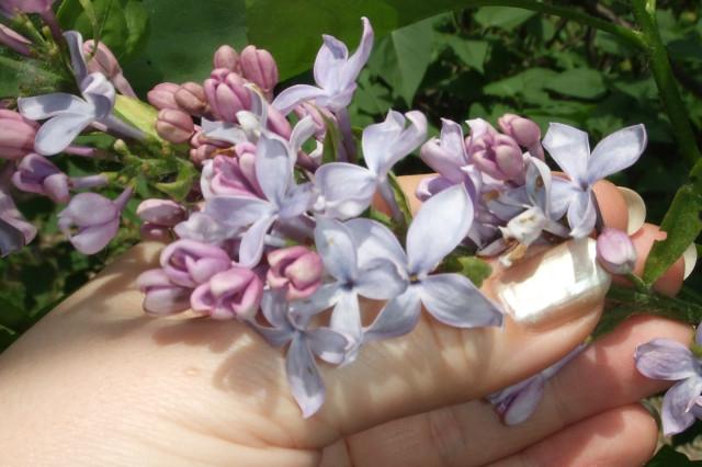 Huge lilac flowers