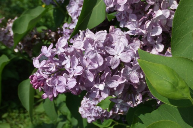 Normal lilac