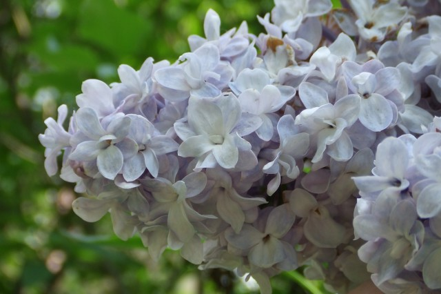 Double Blue Lilac