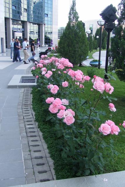 Tashkent roses