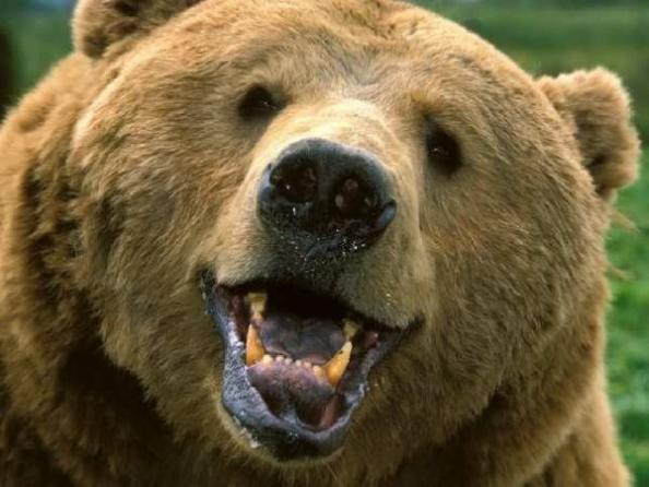 Медведь короткоклювый