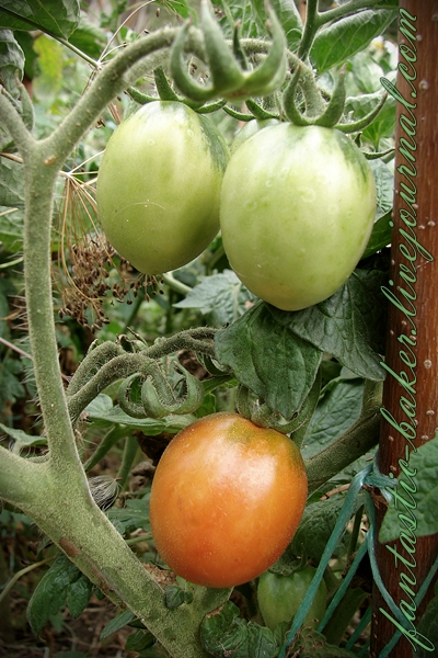 MyFirstTomatoes01