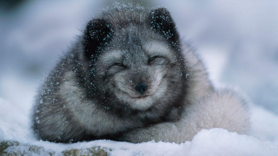 Arctic_fox_cub_winter_20121030