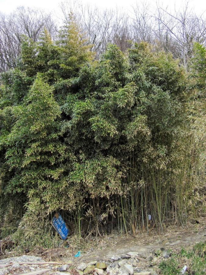 море бамбук
