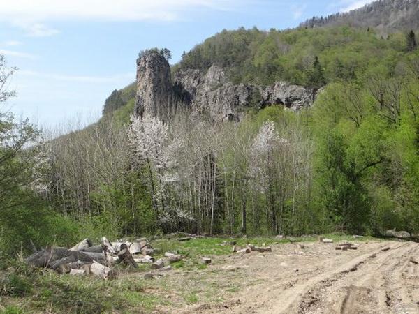 В непосредственной близости от Медовых скал шли интенсивные лесоразработки
