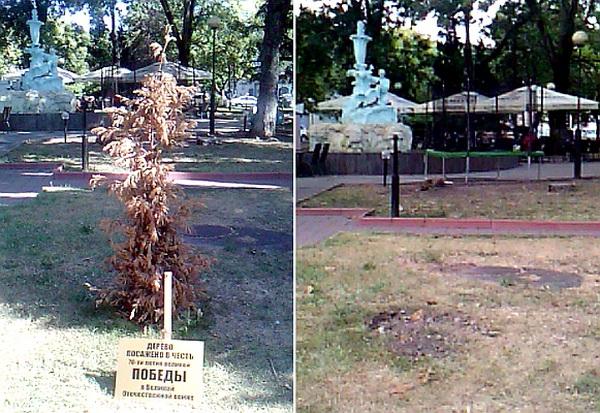 Туапсе дерево Победы