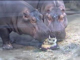 hippos eatin' cake