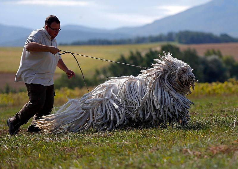 комондор, венгерская овчарка