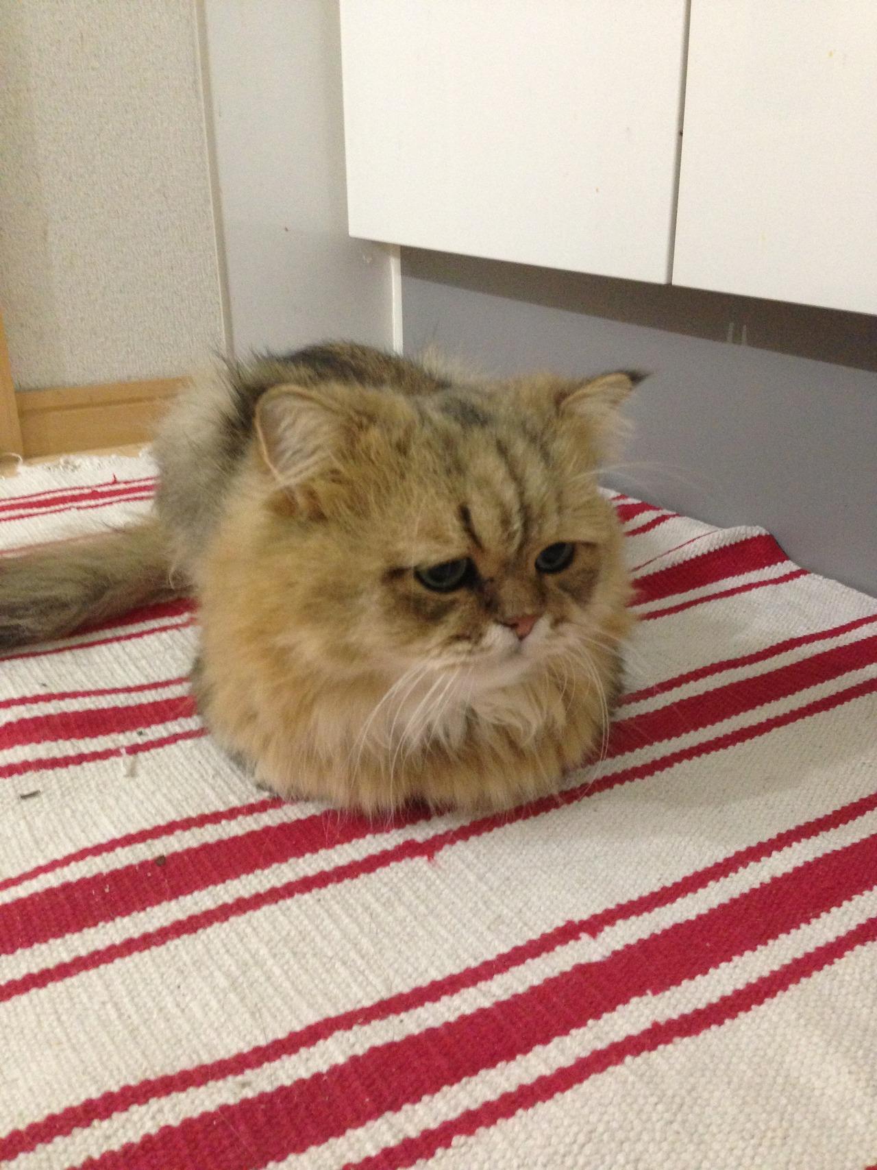 Разочарованный котик из японии фу чан