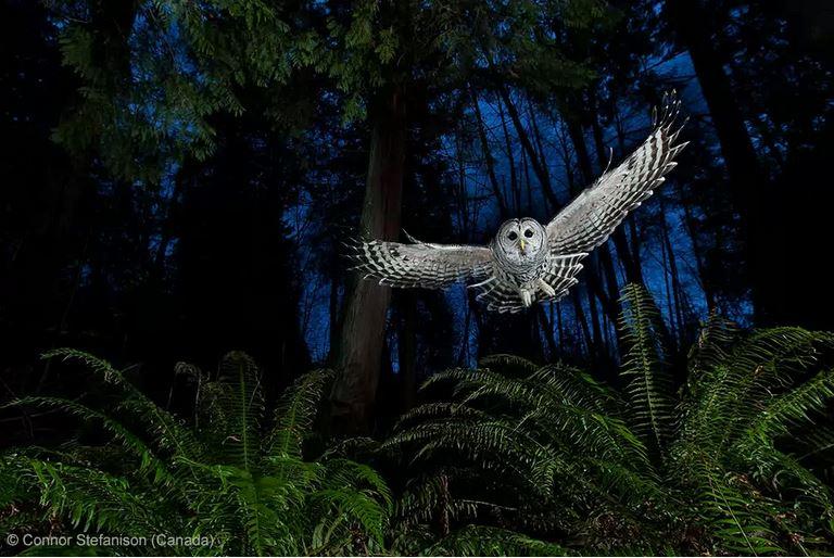 stefanison, лучшее фото дикой природы, сова