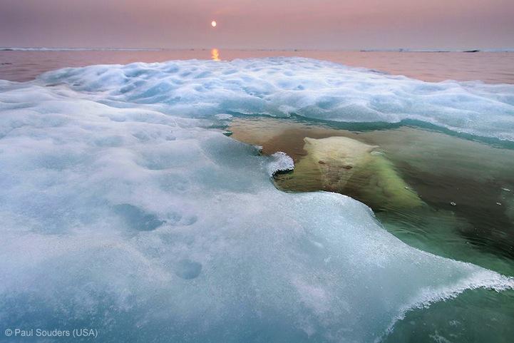 лучшее фото дикой природы, белый медведь