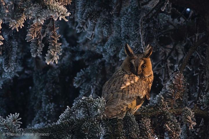 лучшее фото дикой природы, сова