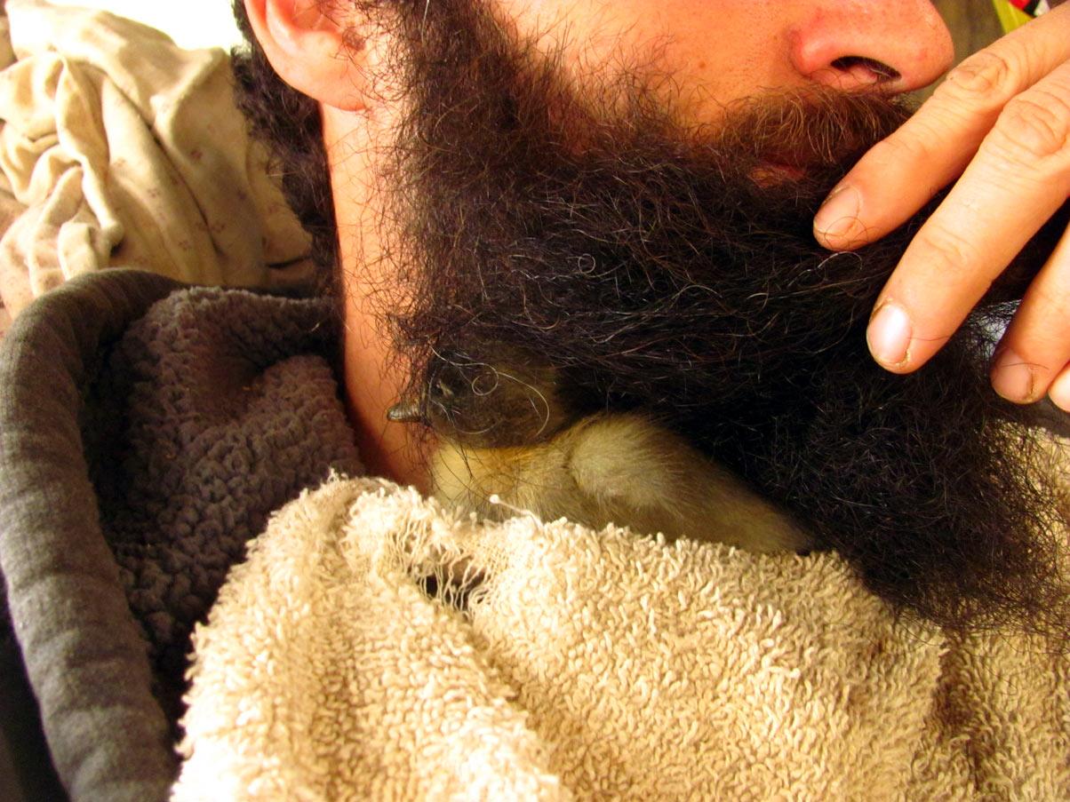 Утка в бороде
