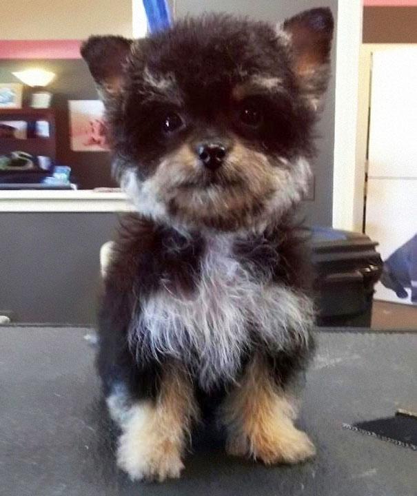Yorkshire Terrier & Poodle