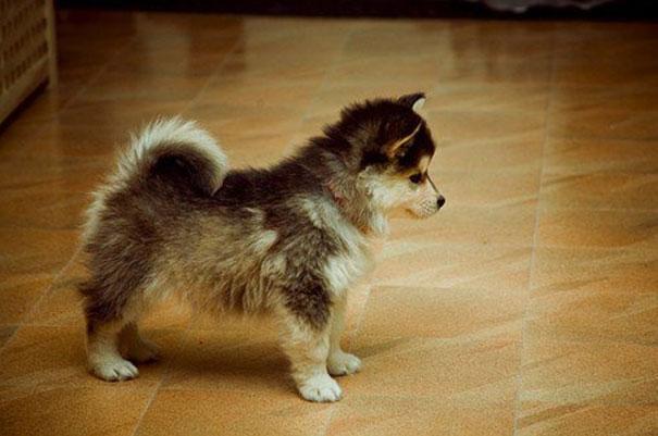 Pomeranian & Husky