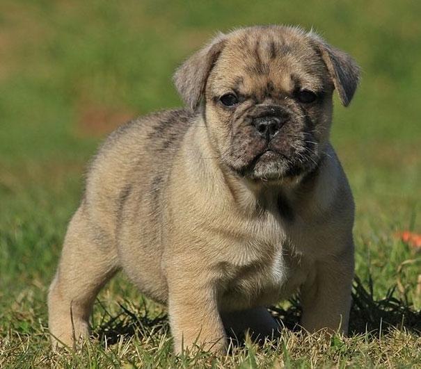 Pug & English Bulldog