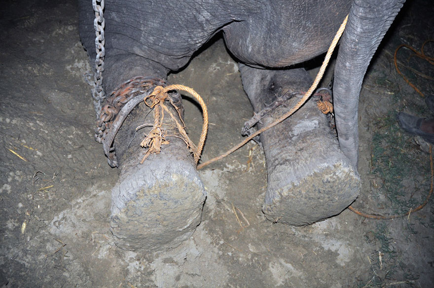 crying-elephant-raju-rescued-chained-50-years-5