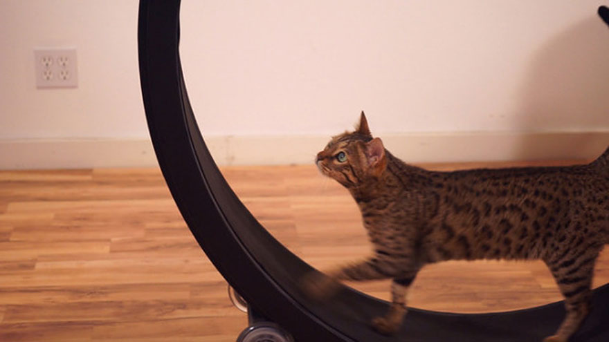 cat-wheel-treadmill-one-fast-cat-6