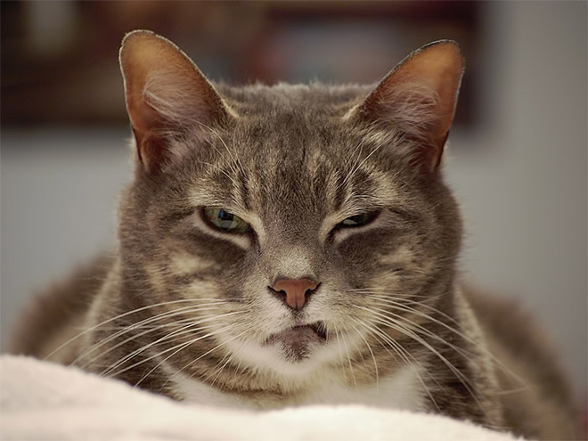 angry-cat1