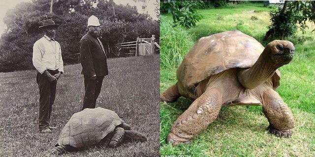 Черепаха Jonathan, сфотографированная 114 лет назад, до сих пор жива