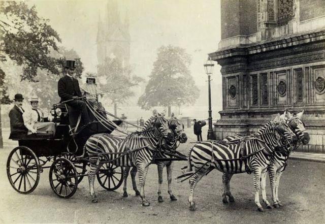 Барон Ротшильд в своём знаменитом экипаже, запряжённом зебрами. 1899 год.