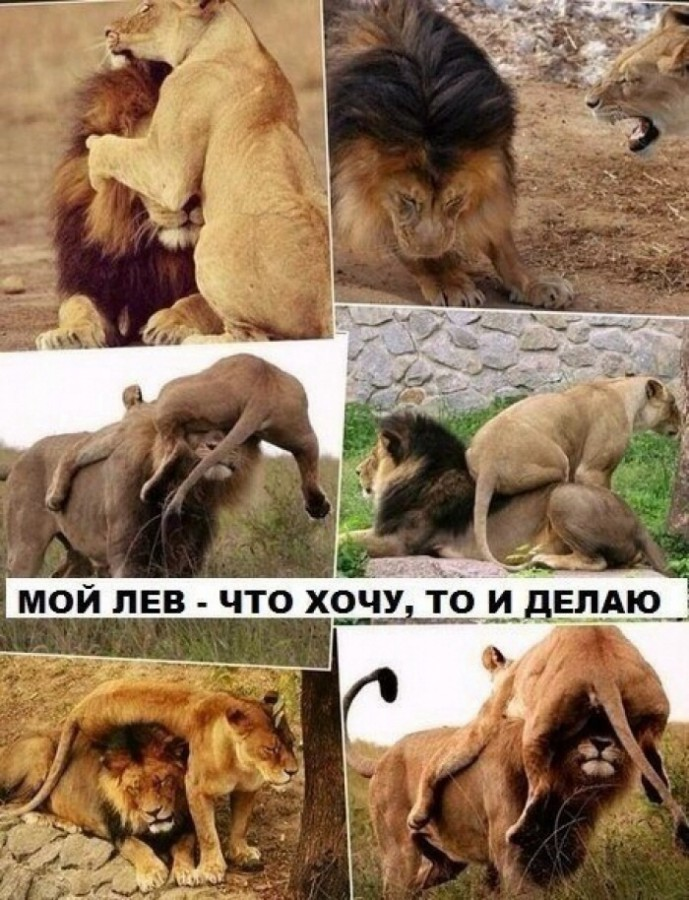Картинки львов с надписями смешные, днем рождения картинки