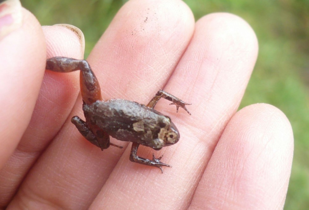 tiny-mottled-frog
