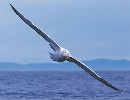 albatross8