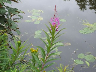fireweed  - lancaster canal bank, 11/7/2007