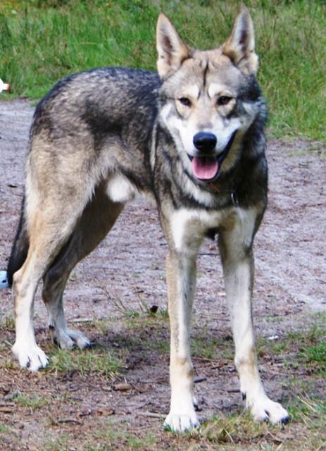 помесь собаки и волка фото