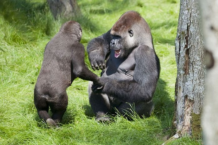 gorila-0004
