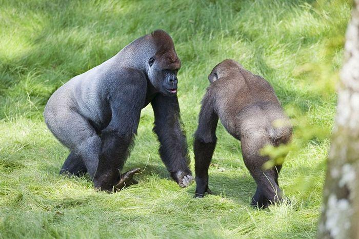 gorila-0005