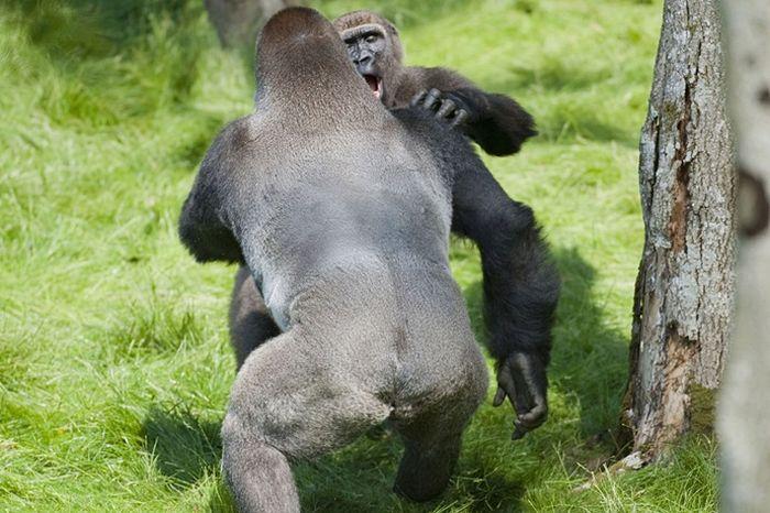 gorila-0006