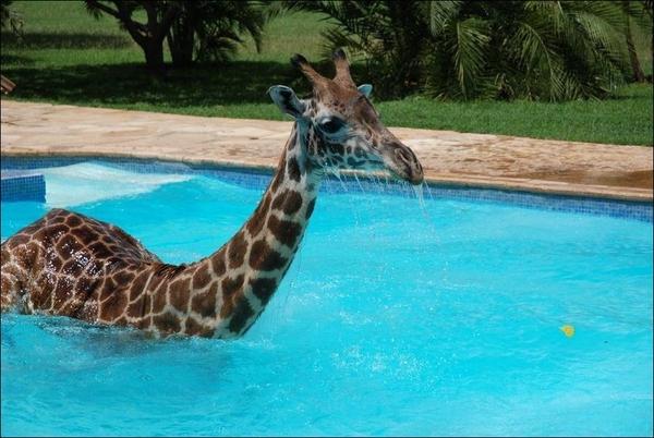 1345203776_giraffe